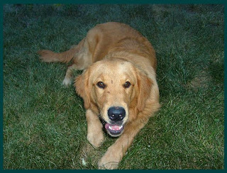Pictures of Golden retriever dog resting