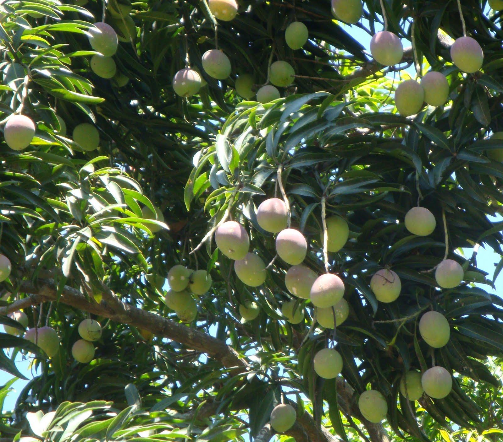 Как вырастить манго из косточки в домашних условиях 32