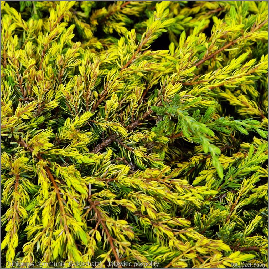 Juniperus communis 'Goldschatz' - Jałowiec pospolity