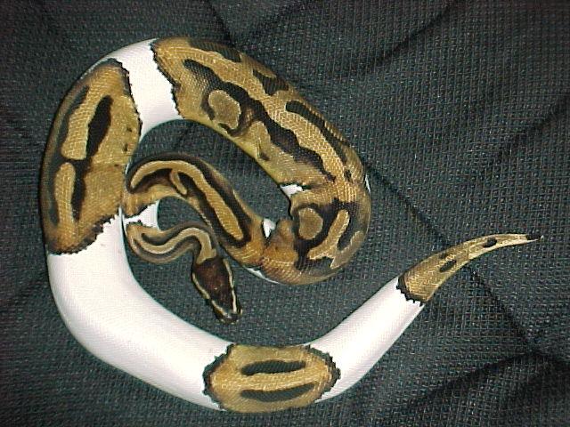 snakes baby ball pythons. Black Bedroom Furniture Sets. Home Design Ideas