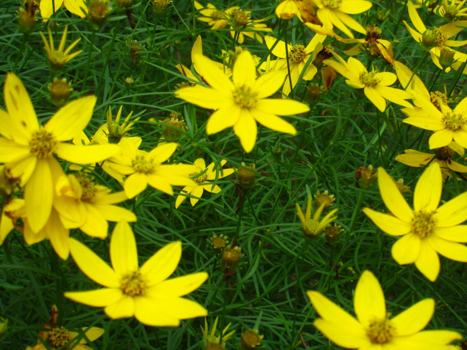 Top perennials in 2011 schmalz landscaping another sun perennial that was quite popular last year was tickseed coreopsis zagreb the sunny yellow flowers bloom almost all summer and the plant has mightylinksfo