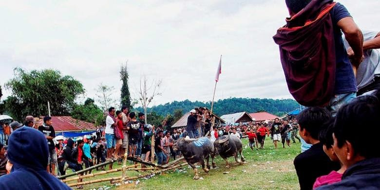 """""""Saleko"""" Kerbau Seharga Satu Miliar Rupiah di Toraja"""