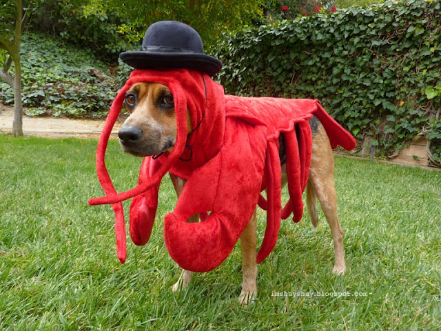 Lobster Dog in a bowler hat - AKA Patrick Stewart's Biggest Fan (via imshayshay.blogspot.com)