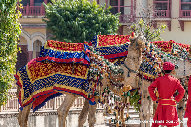 Beautifully dressed Camels Rajasthan 1