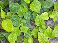 manfaat khasiat daun sirih