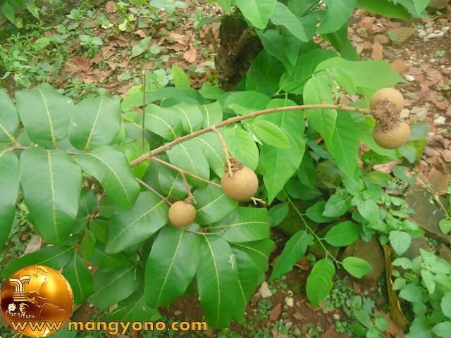 Manfaat Buah Kelengkeng  (Dimocarpus logan) Bagi Ibu Hamil