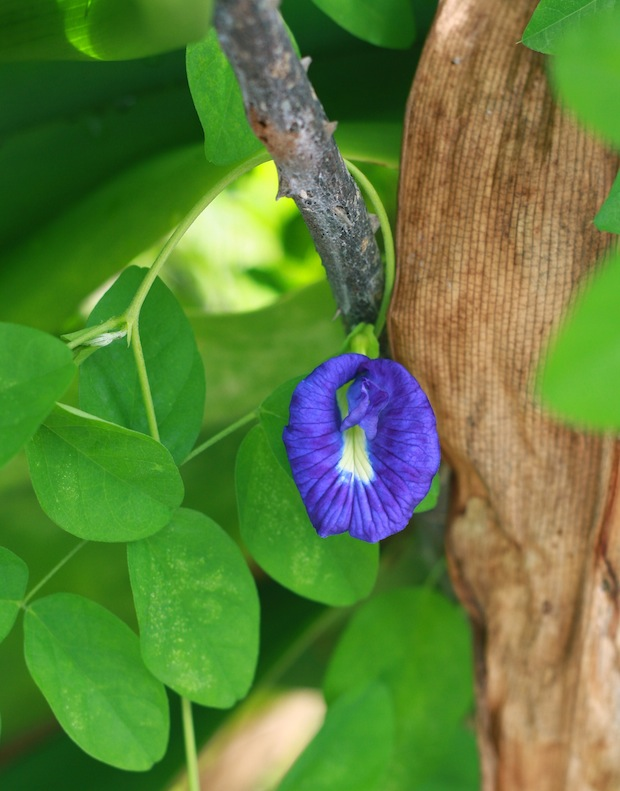 natural blue dye using blue pea flower