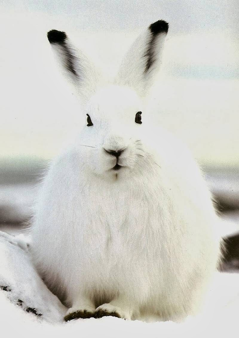 The Arctic Hare | Polar Rabbit