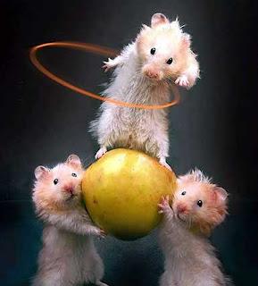 imagenes de ratas graciosas