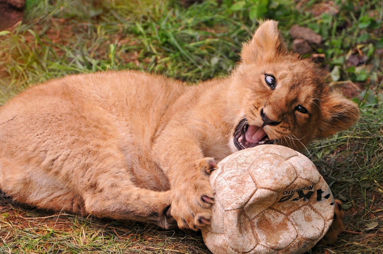 «The ball is also great fun!» by Tambako the Jaguar from flickr (CC-ND)