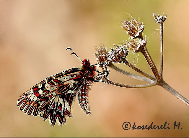 Güneyli fisto kelebeği çiçekteyken fotoğrafı