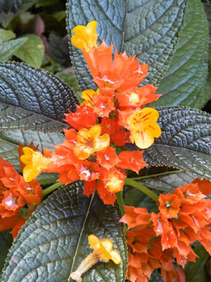 Chrysothemis pulchella Black Flamingo at St. Lucia Diamond Botanical Gardens Soufriere by garden muses-not another Toronto gardening blog