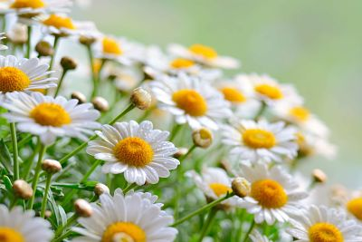 Beneficios de la manzanilla explicacion significado e for Manzanilla planta medicinal para que sirve