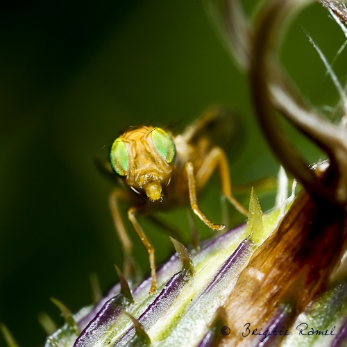 Diptère, mouche, insecte, tephrityde