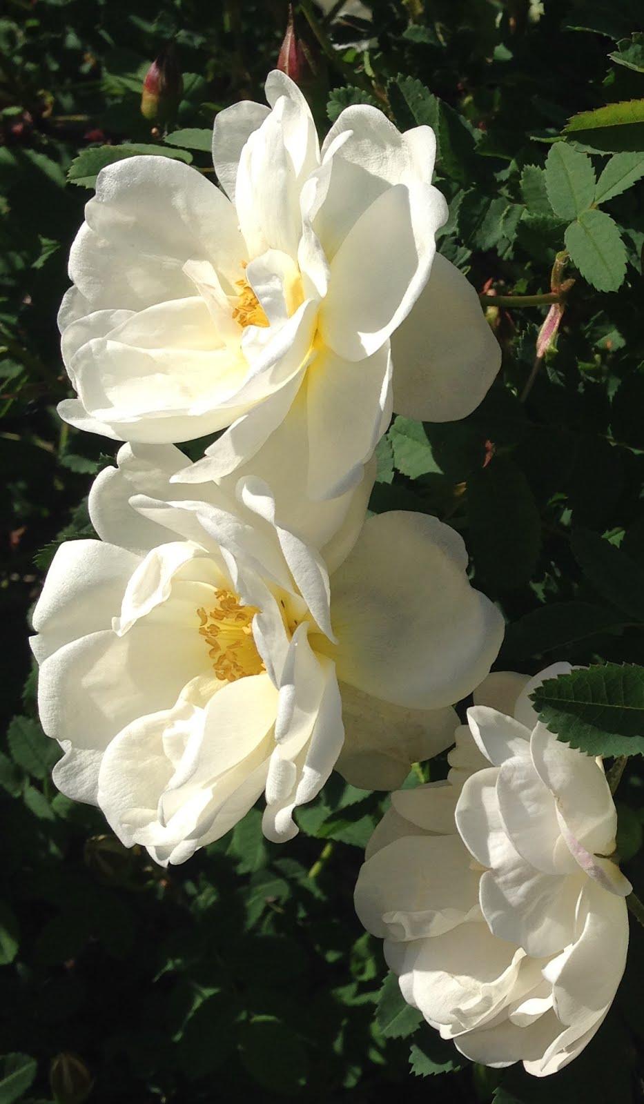 De vita doftande rosorna!