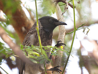 Red Vented Bulbul between branches