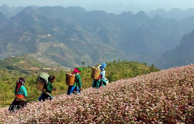 Buckwheat Flower Season