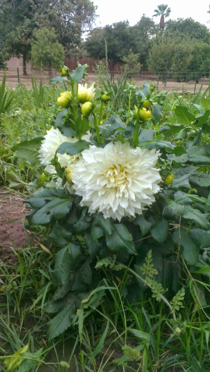 Hereu0027s a picture of a white dinner plate dahlia. The flowers are huge although probably not the size of a dinner plate but the size of my hand. & A Farmboy stuck in the city - Fox Farm - Riverside CA: White DInner ...