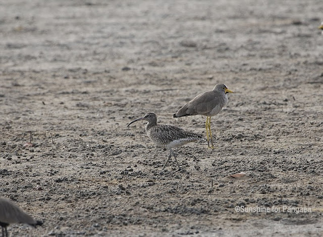 Whimbrel  in Gambia