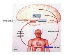 Abdominal fat loss and cortisol