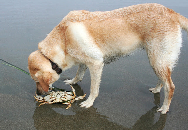 cabana sniffing an overturned crab on the shore