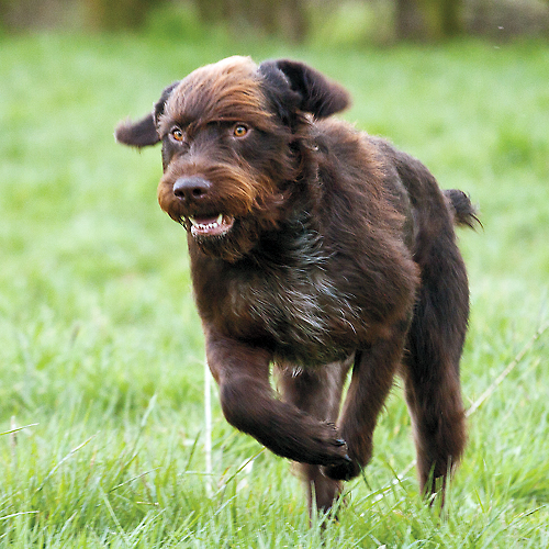 Pointing Dog Blog: Breed of the Week: The Stichelhaar