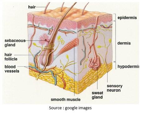 Anatomi dan Fisiologi Kulit Manusia