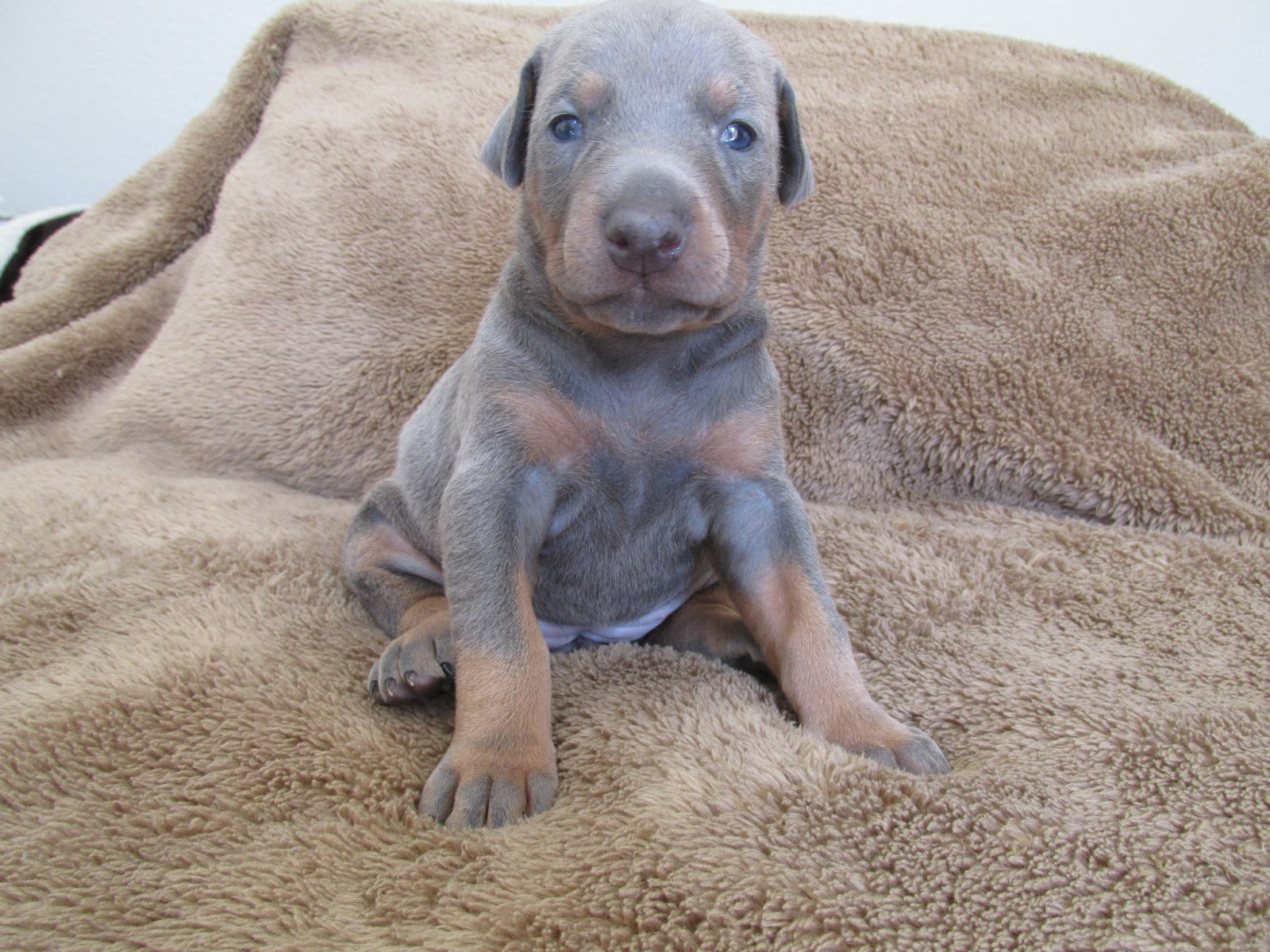 Blue Doberman Puppies high resolution widescreen