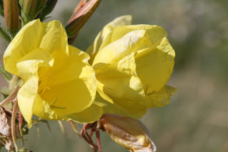 Large-flowered Evening Primrose (Oenothera glazioviana)