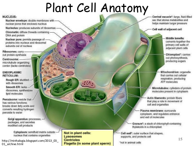 Microtubules In Plant Cell