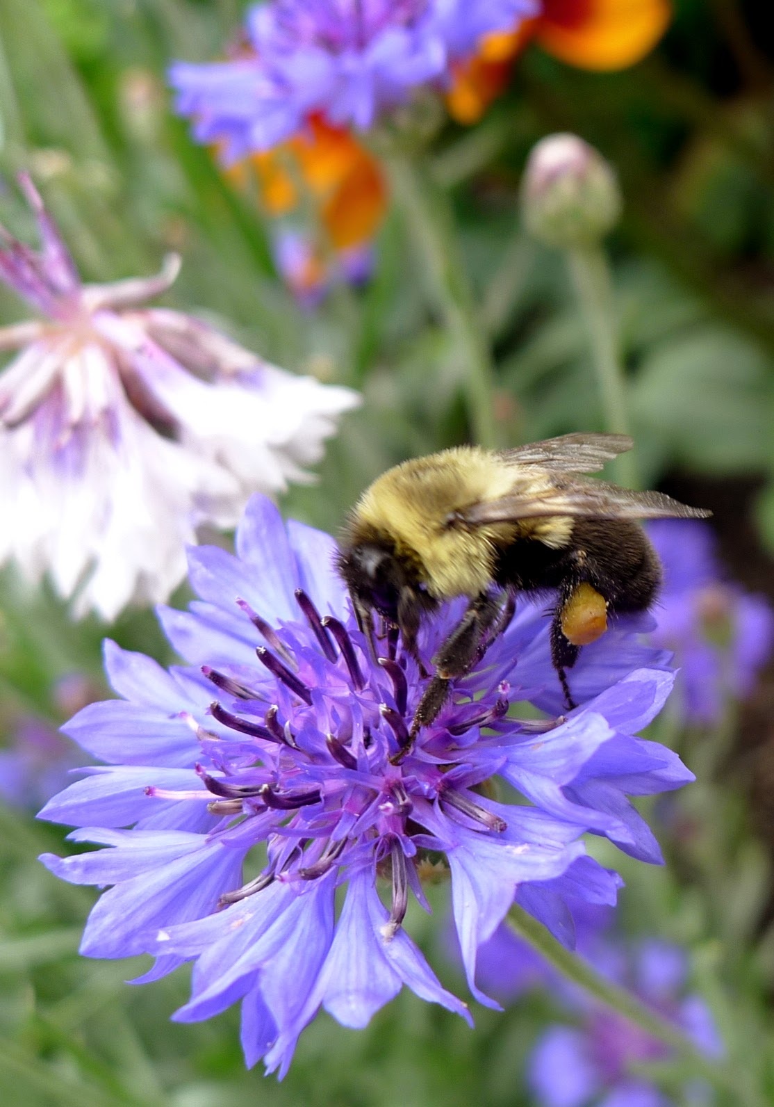 Bumble Bee, pollinators, urban farming