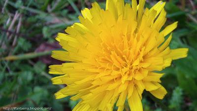 tarassaco fiore giallo
