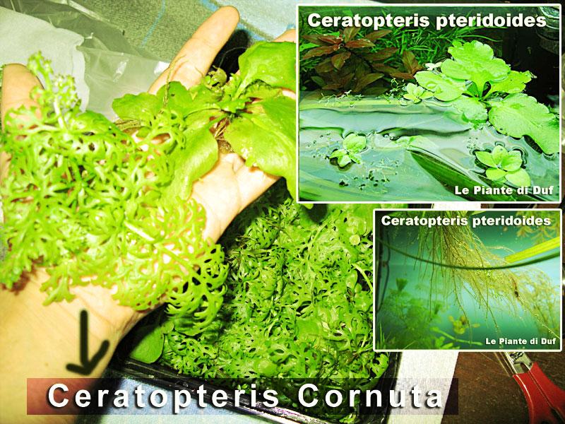 Acquarilowcost vendo abbondante pacchetto piante for Piante per laghetto