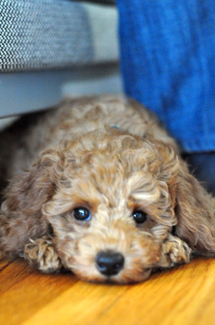 red poodle puppy laying down under the couch.