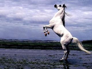 horse racin tjk at yarışı atlar ile ilgili at resimleri tay şaha kalmış at