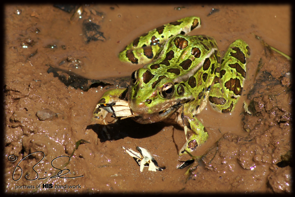 Northern leopard frog eating - photo#21