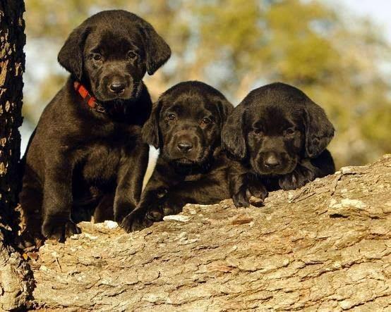 nice pictures of black labrador puppies