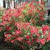 Damn Nature! - Oleander