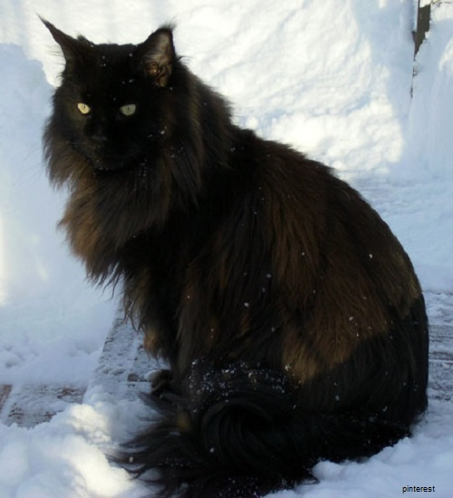 Photo chat maine coon noir