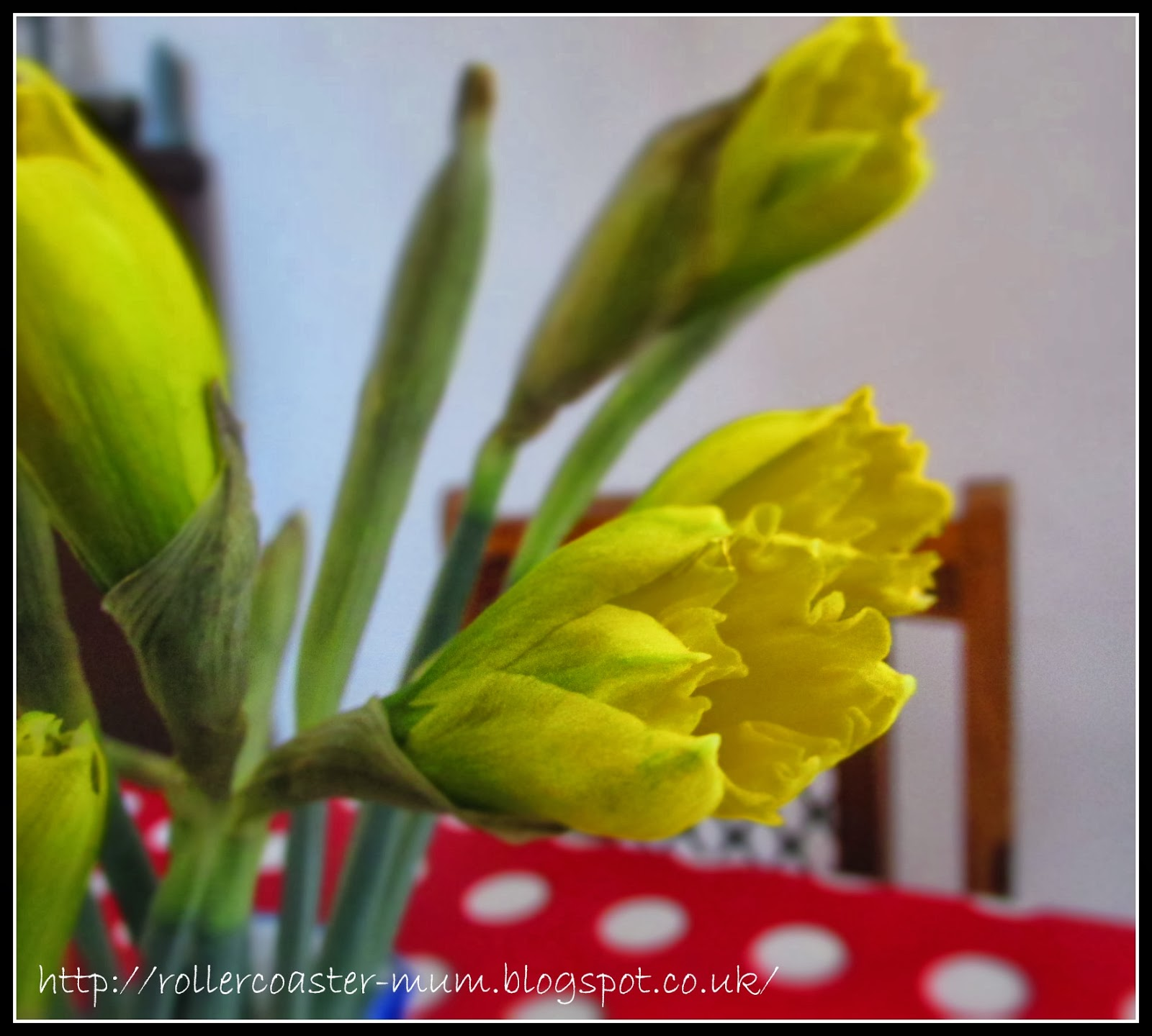 The first yellow daffodils