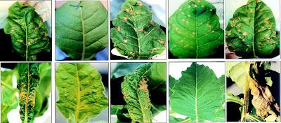 TMV (Tobacco Mosaic Virus) atau Virus Mosaik Tembakau