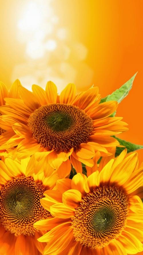 sunflower background iPhone 6