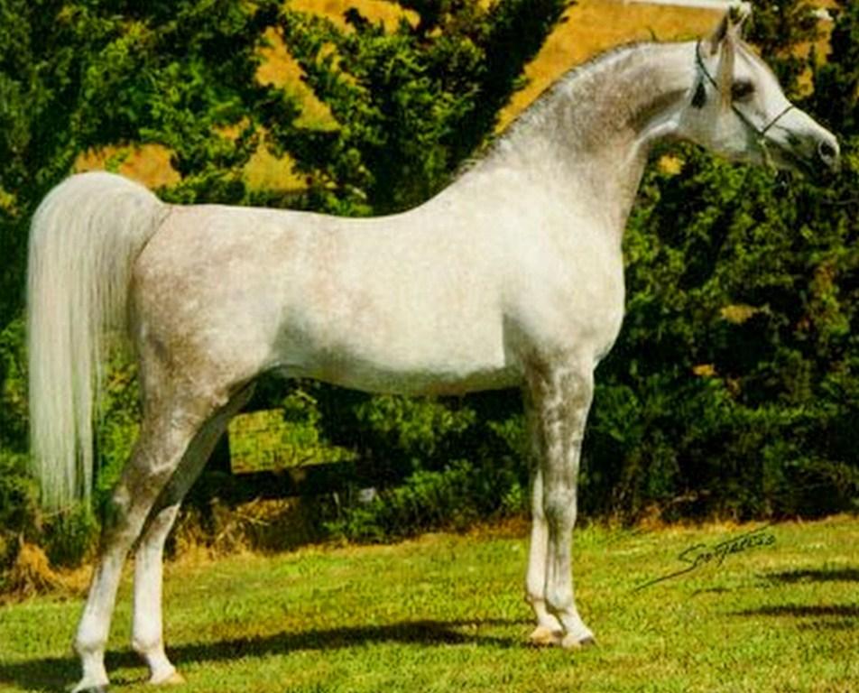venta de caballo arabes: