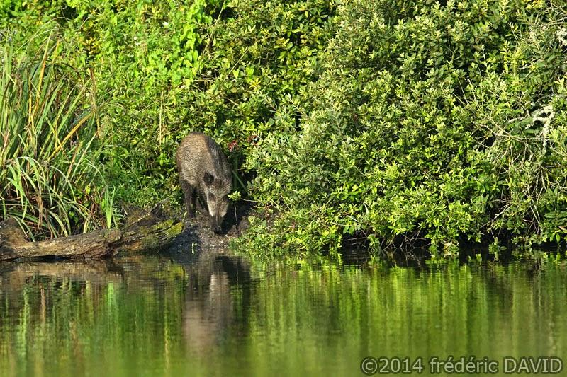 animaux nature sanglier marcassin marais étang Itteville Essonne