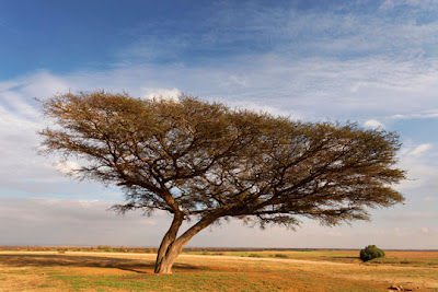 The Negev, Israel - Acacia Raddiana tree in the Negev desert