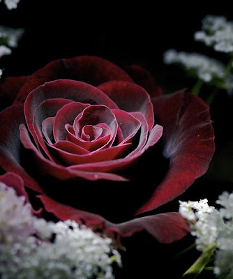 gothic-red-rose-wallpaper
