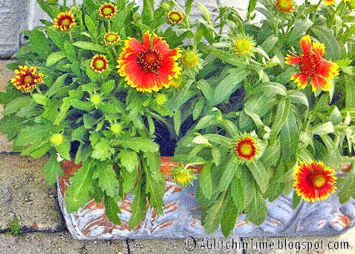 Sun Flowers-- Gaillardias in patio pot
