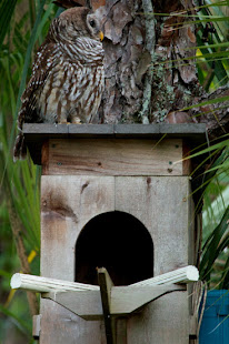 Barred Owl Nesting box plans