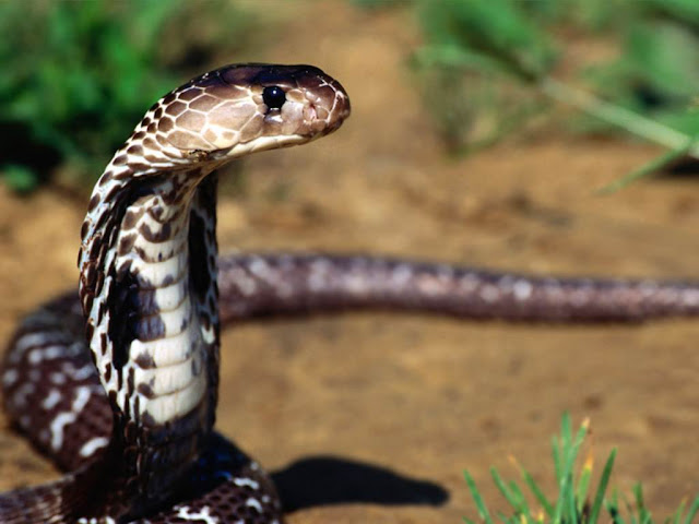 Deadly Beauty-Snake2