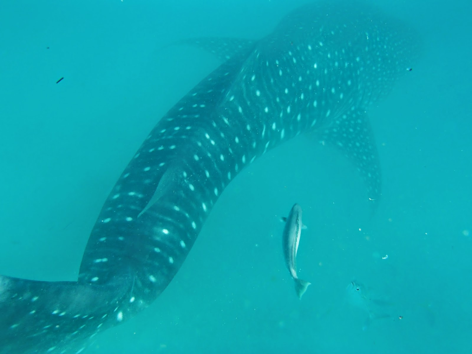 Black swamp cornucopia swimming with the whale sharks at for Shark tail fish